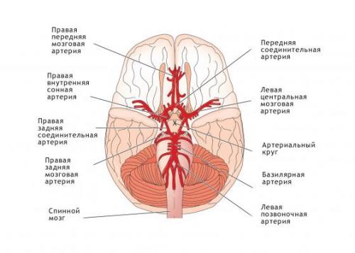 Кровообращение сосудов головного мозга
