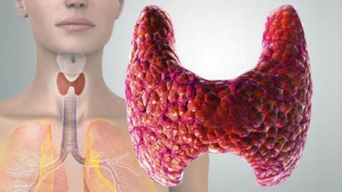Как выглядит щитовидная железа